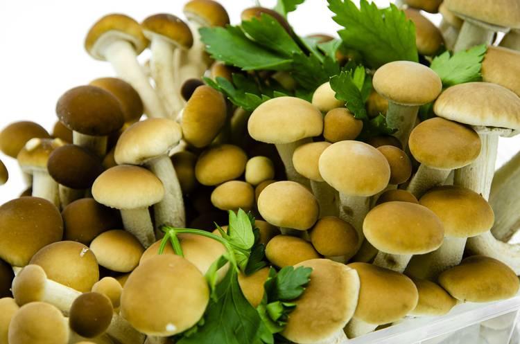 Funghi Pioppini - Az. Agr Begnoni